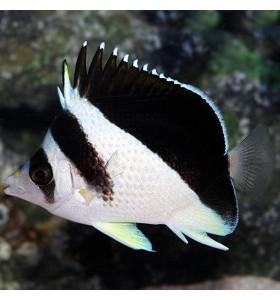 Burgess' Butterflyfish